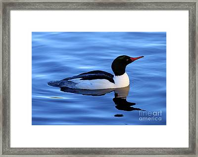 Common Merganser Duck In Stanley Park Framed Print