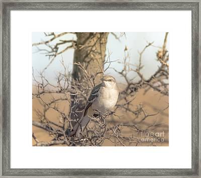 Common Mockingbird Framed Print