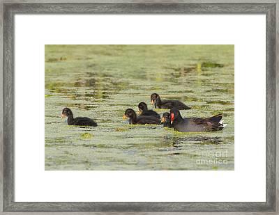 Common Moorhen Family Framed Print