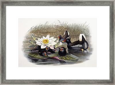 Common Moorhen Framed Print by John Gould