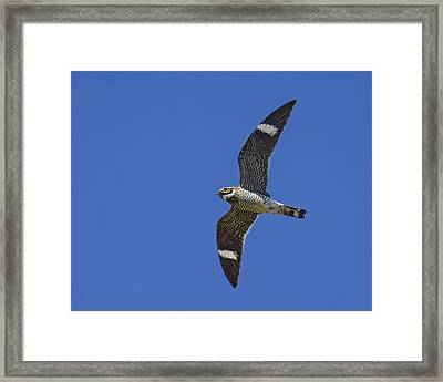 Common Nighthawk Framed Print by Tony Beck