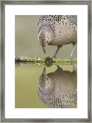 Common Pheasant Hen Framed Print by Paul Miguel/FLPA