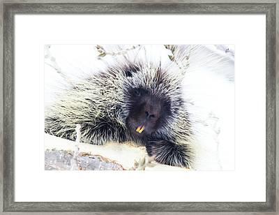 Common Porcupine Framed Print