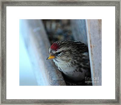 Framed Print featuring the photograph Common Redpoll by Ann E Robson