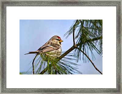 Framed Print featuring the photograph Common Redpoll Bird by Christina Rollo