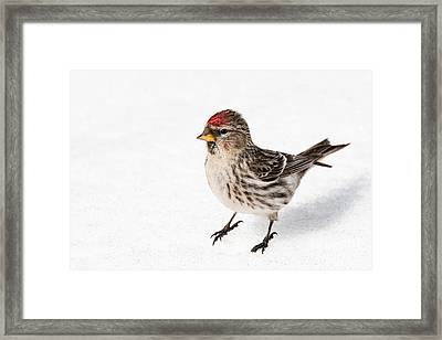 Framed Print featuring the photograph Common Redpoll- Sizerin Flamme - Acanthis Flammea by Nature and Wildlife Photography