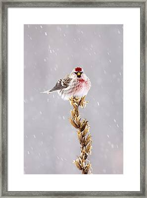 Common Redpoll Songbird In The Snow Framed Print by Birds Only