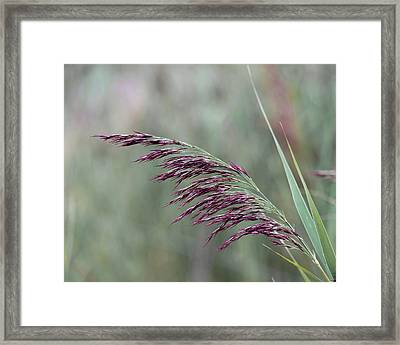 Framed Print featuring the photograph Common Reed Flower Stalk by Scott Lyons