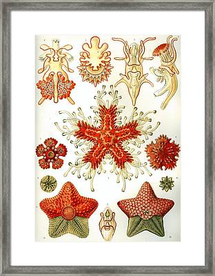Common Starfish Drawings Framed Print by ArtworkAssociates