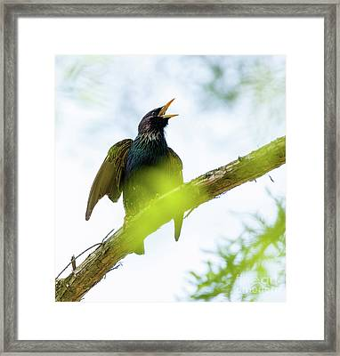 Common Starling On A Tree Branch Framed Print