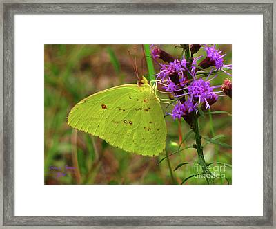 Framed Print featuring the photograph Common Sulphur Butterfly by Donna Brown