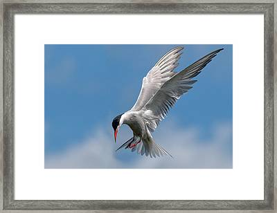 Common Tern  Framed Print by Ian Hufton