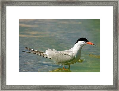 Common Tern Portrait Framed Print by Cliff Norton