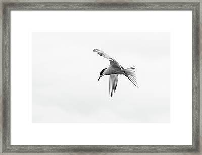 Common Tern Framed Print
