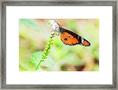 Common Tiger Butterfly Framed Print by Vishwanath Bhat