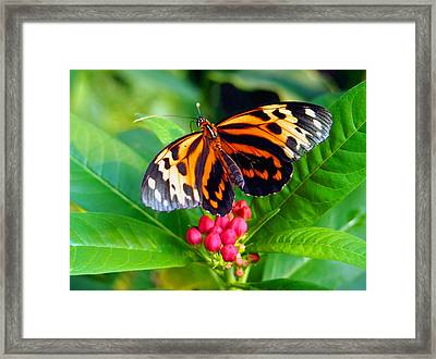 Common Tiger Glassywing Butterfly Framed Print by Amy McDaniel