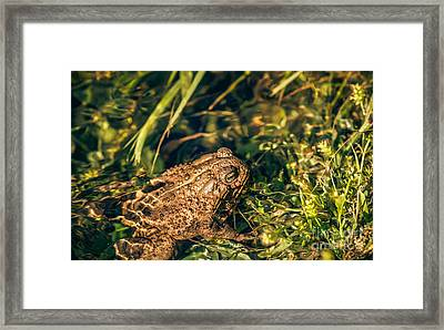Common Toad Framed Print by Robert Bales