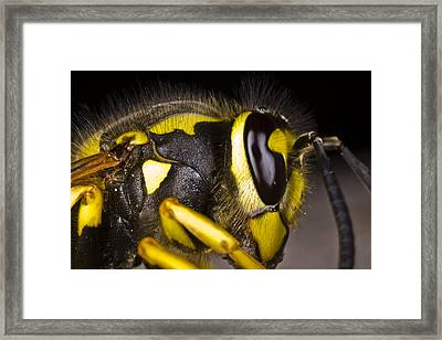 Common Wasp Vespula Vulgaris Close-up Framed Print by Gabor Pozsgai
