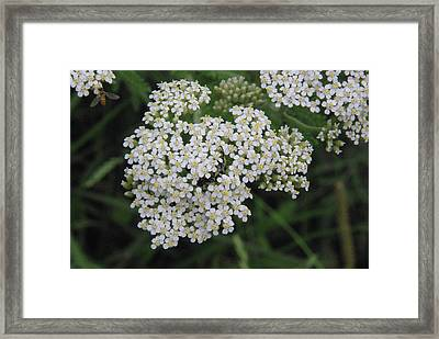 Common Yarrow Closeup Framed Print by Robyn Stacey