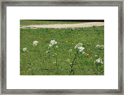 Common Yarrow Framed Print by Robyn Stacey