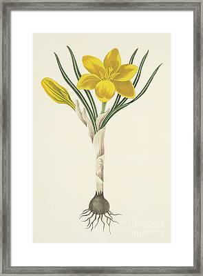 Common Yellow Crocus Framed Print