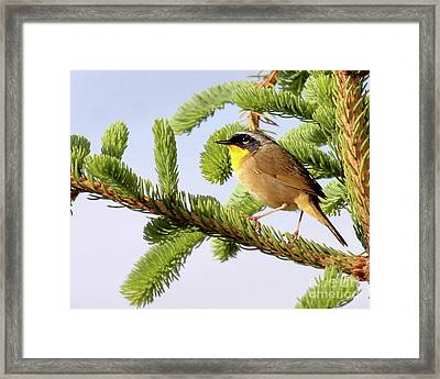 Common Yellow-throat Framed Print