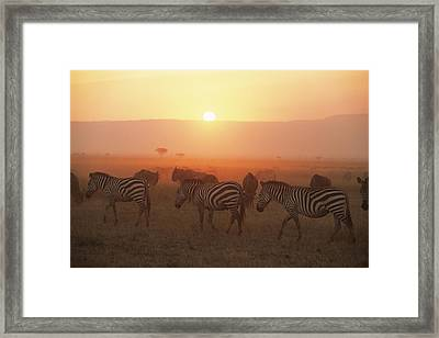 Common Zebras On The Move At Sunset And Wildebees Framed Print by James Warwick