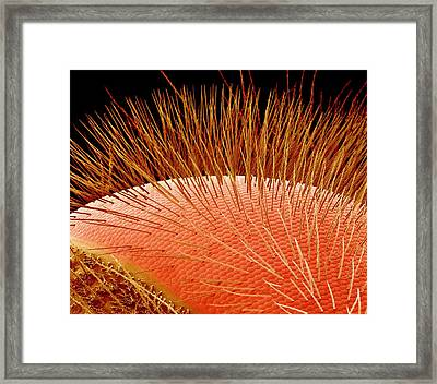 Compound Eye Of A Bee, Sem Framed Print by Susumu Nishinaga
