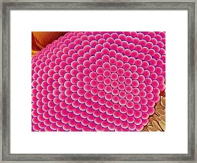 Compound Eye Of A Mosquito, Sem Framed Print by Susumu Nishinaga