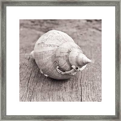 Conch Shell Framed Print by Tom Gowanlock