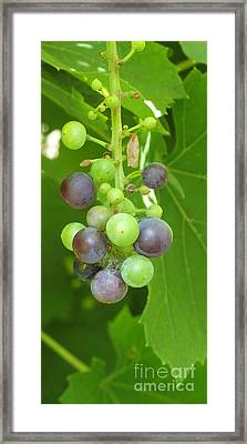 Concord Grapes On The Vine Framed Print by Gina Sullivan