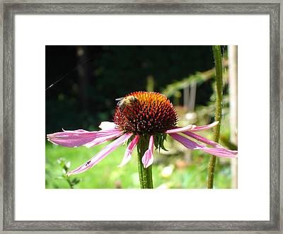 Cone Flower And Honey Bee Framed Print