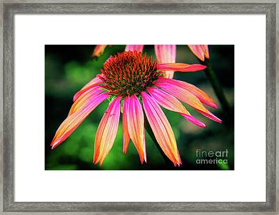 Cone Flower Beauty Framed Print