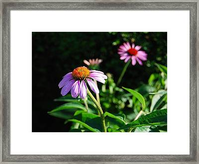 Cone Flower Framed Print by Beverly Cazzell
