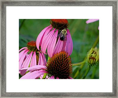 Cone Flower  Bumble Bee Macro Framed Print by Martin Morehead