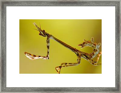 Framed Print featuring the photograph Cone Head Mantis by Richard Patmore
