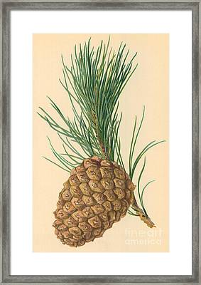 Cone Of Stone Pine Framed Print by William Henry James Boot