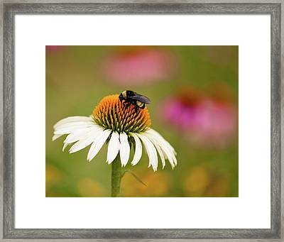Coneflower And Bee Framed Print
