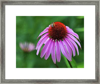 Framed Print featuring the photograph Coneflower by Judy Vincent