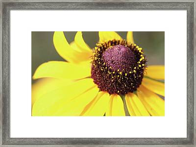 Coneflower Framed Print by Paul Drewry