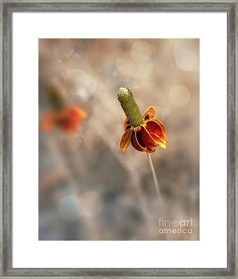 Mexican Hat Prairie Flower Framed Print