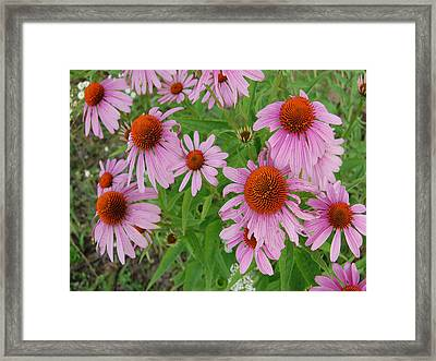 Coneflowers Framed Print by Audrey Venute