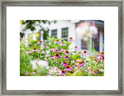 Coneflowers In Bloom In A Summer Backyard Garden Outside Of A Su Framed Print by Leslie Banks