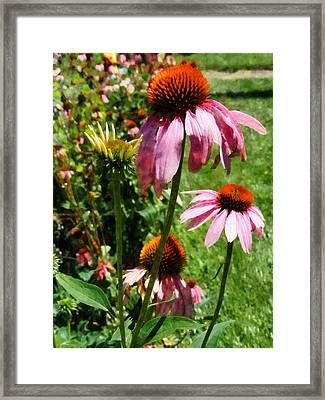 Coneflowers In Garden Framed Print