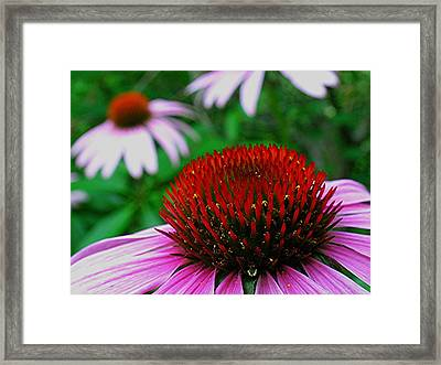 Coneflowers Framed Print by Juergen Roth