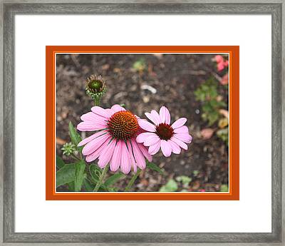 Coneflowers Framed Print by Susan Alvaro