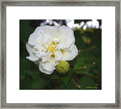 Confederate Rose Framed Print by Debbie May