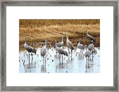 Congregating Sandhill Cranes Framed Print