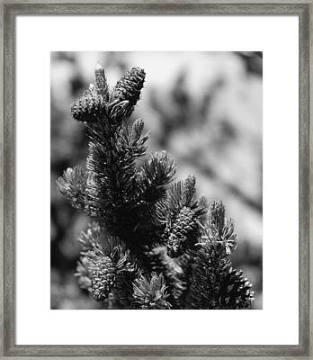 Conifer Framed Print