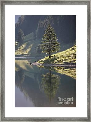 Conifer Framed Print